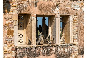 Gray langur monkeys on ruins of Gora Badal Palace at Chittorgarh Fort - Rajasthan, India
