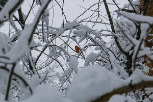 robin perched on a small branch in the white after a snowfall