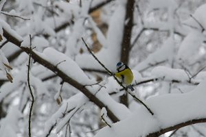 Blue Tit in the snow on a tree in winter