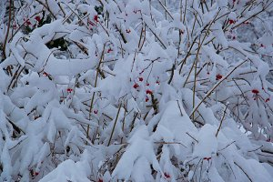 Red berries bush bushes covered with white snow and frost