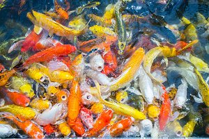 colorful fish carp