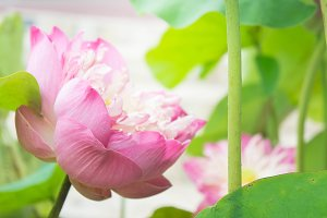 Lotus flowers on holy day