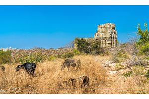 Herd of Cows at Adbhutanatha Temple at Chittorgarh Fort. Rajastan, India