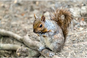 Eastern Gray Squirrel in Montreal - Quebec, Canada