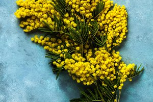 Yellow Mimosa bouquet on blue backgr