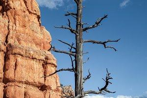 An Old Tree And Hoodoo Rocks