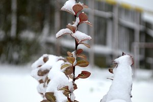 Barberry in the snow