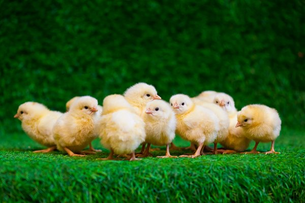 Close-up of a lot of  yellow chicks