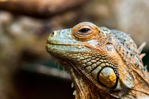a young beautiful iguana