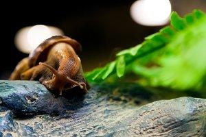 a cinnamon snail   or Gastropoda
