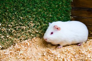 a small white guinea pig