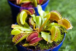 young bright green Dionaea muscipula