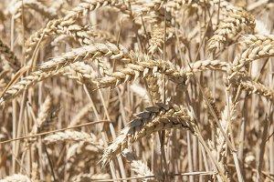 Cereals crop