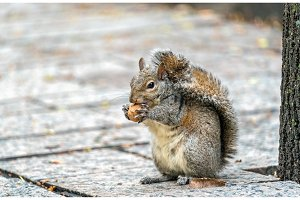 Eastern gray squirrel eats a walnut on Trinity Square in Toronto, Canada