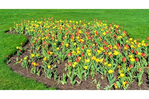 Red and yellow tulips in Queen Victoria Park - Niagara Falls, Canada