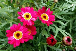 Purple daisies in the garden