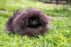 Puppy pekingese dog