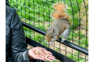 Feeding an Eastern Gray Squirrel in New York City, USA