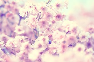 Bunches of Pink Cherry Blossoms