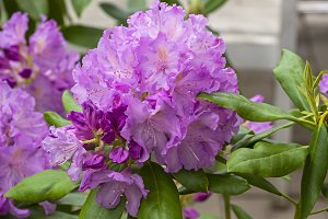 Rhododendron of the Lavanda species