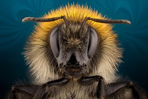 Extra sharp bumblebee portrait