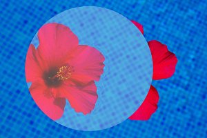 hibiscus flower in fresh water