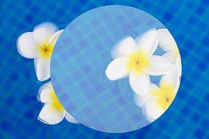 fresh  frangipani flowers  on blue water