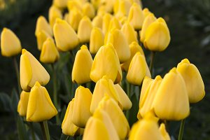 Row of Yellow Tulips and Mountain