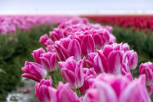 Pink Tulips in Dawn Light