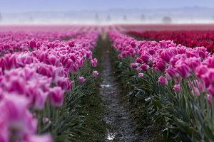 Converging Rows of Tulips