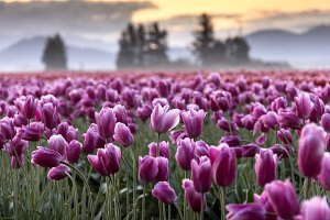 Rising Sun and Pink Tulips