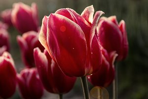 Red and White Tulips at Sunrise
