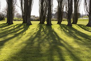 Poplar Shadows on Farm Lawn