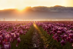Sunrise over Mountains and Tulips