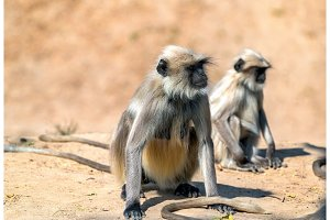 Gray langur monkeys at Sahasralinga Talav in Patan - Gujarat, India