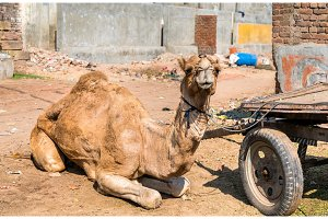 Dromedary with a cart waiting for work. Patan, India