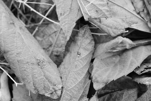 Autumn Leaves Detail in Black White