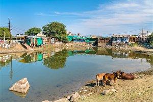 Cows at Chhashiyu Lake - Pavagadh Hill in Gujarat, India