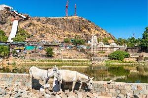 Cows at Teliya Talav lake - Pavagadh Hill in Gujarat, India