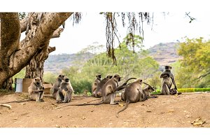 Gray langur monkeys at Ellora Caves in India