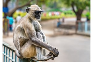 Gray langur monkey at Ellora Caves in India