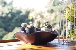 cactus in wooden potted
