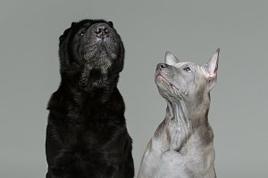 thai ridgeback puppy and shar pei dog