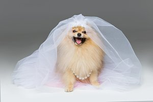 beautiful spitz bride on gray background