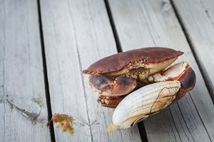 alive crab holding scallop in claw