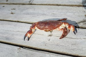 alive crab standing on wooden floor