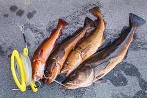 fresh Norwegian fish