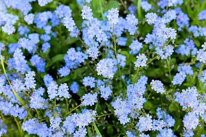 Forget-me-not flowers.