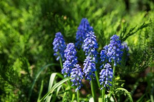 Muscari flowers. Deep blue flowers