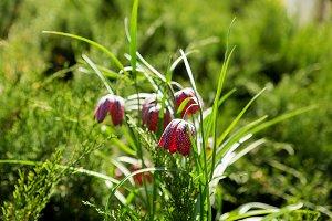 Fritillaria (lily family plant)
